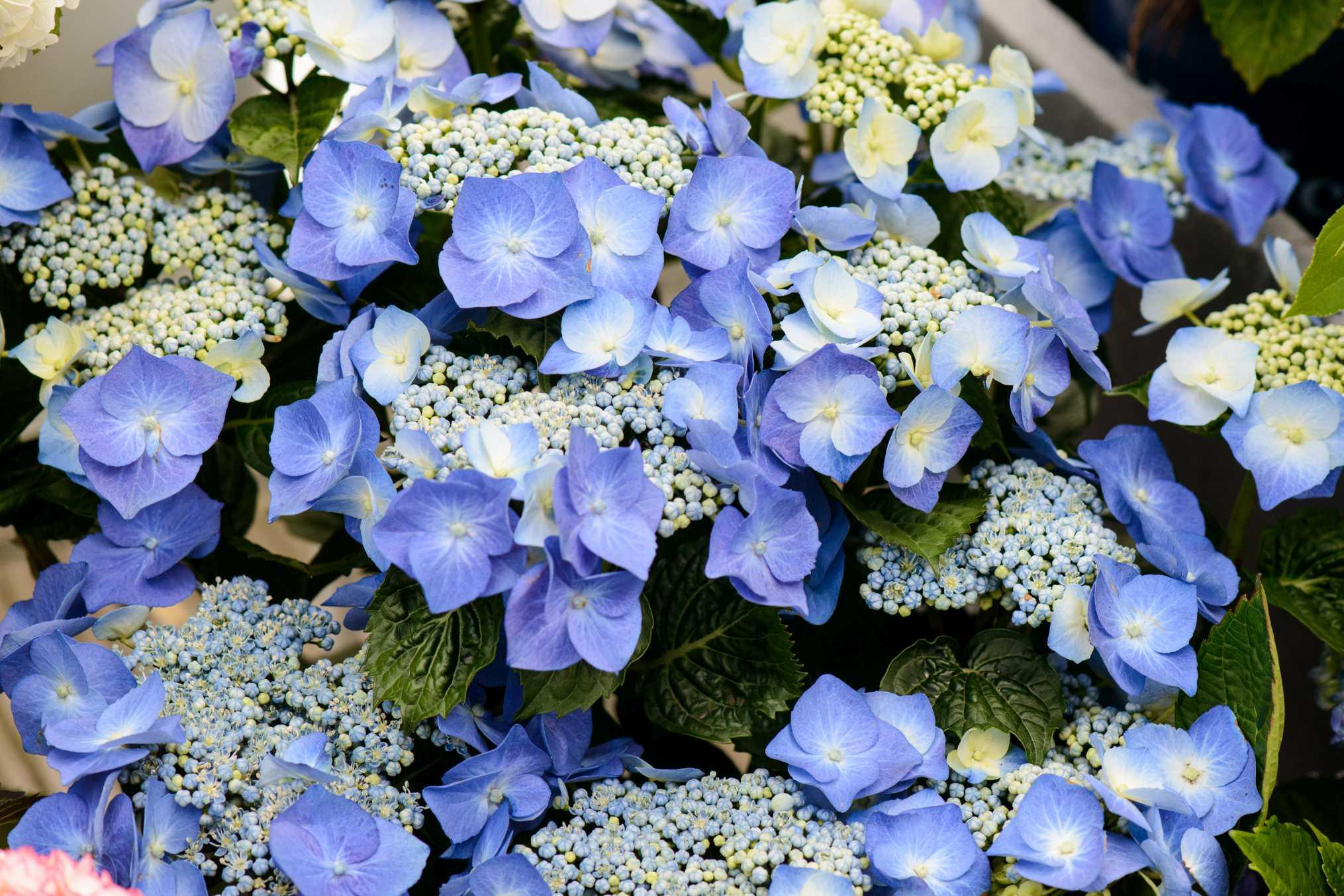 die blaubl tige hortensie ist ein schmuckst ck f r drau en k niglich entspannen hortensien. Black Bedroom Furniture Sets. Home Design Ideas