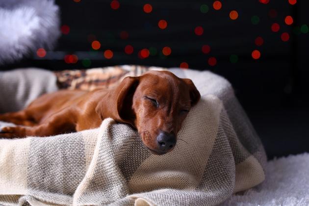 Geschlossene Rolladen, Radiomusik und ein alltägliches Verhalten helfen, dass der Jahreswechsel für Hund, Katze und Co. entspannt verläuft. Foto: Mein-Haustier/shutterstock/AfricaStudio