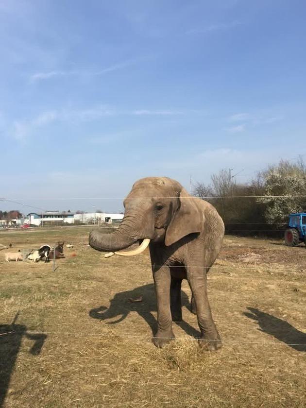 """Der Elefant konnte sich meistens in einem großen Freigehege aufhalten. Weiterer Text über ots und www.presseportal.de/pm/103332 / Die Verwendung dieses Bildes ist für redaktionelle Zwecke honorarfrei. Veröffentlichung bitte unter Quellenangabe: """"obs/Aktionsbündnis """"Tiere gehören zum Circus""""/Matthias Rittgen"""""""