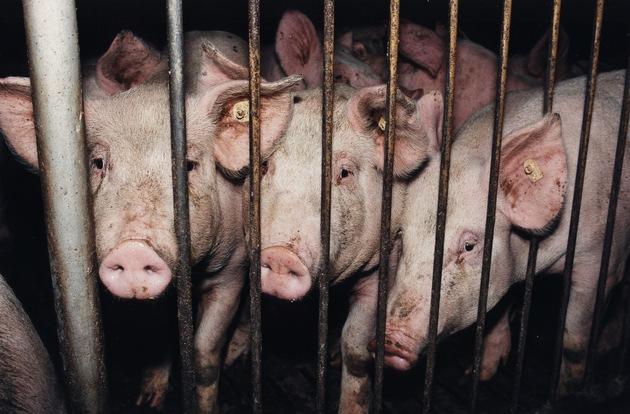 VIER PFOTEN fordert mehr Transparenz: Verbraucher müssen im Supermarkt sehen können, wie ein Tier gehalten wurde. Hier: Schweine in deutscher Massentierhaltung © VIER PFOTEN, Fred Dott