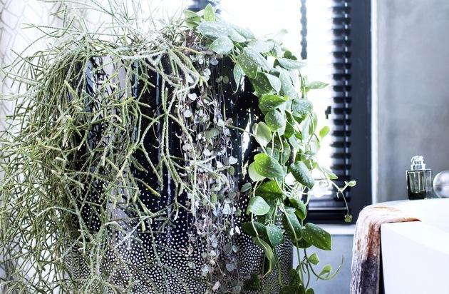 h ngende zimmerpflanzen sind zimmerpflanzen des monats september neue perspektiven mit. Black Bedroom Furniture Sets. Home Design Ideas