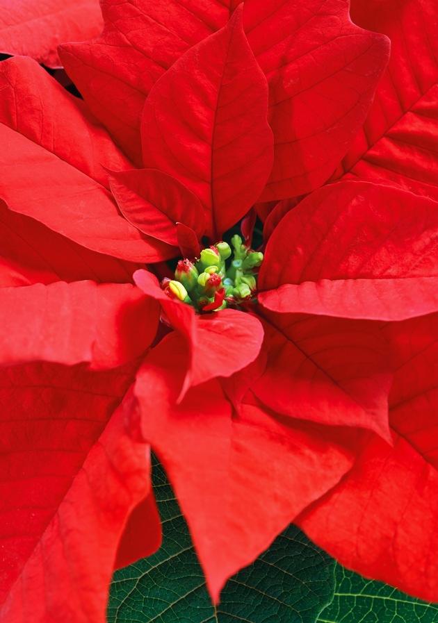 Rote Weihnacht: Mit seinen prächtigen, sternförmigen Hochblättern in leuchtendem Rot stimmt der Weihnachtsstern die Gäste auf das Weihnachtsfest ein.