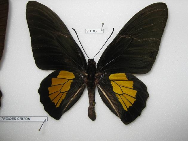 sichergestelltes Schmetterlingspräparat