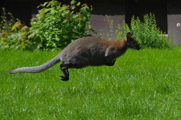 Entlaufenes Känguru