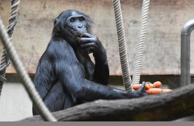 Umsiedelung ist keine Alternative / Statement des Zooverbands VdZ zum Wuppertaler Bonobo Bili