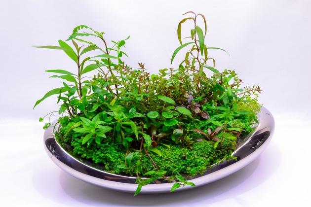 Aquarienpflanzen, die sowohl unter Wasser als auch über Wasser gedeihen können, sind für die Verwendung im Wabi Kusa geeignet.