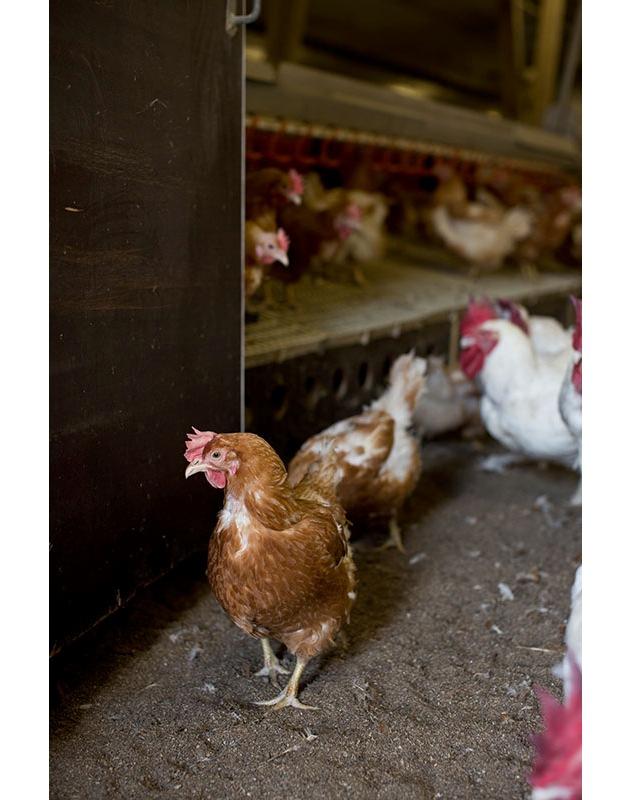 La Migros punta su carne svizzera e migliori condizioni di allevamento degli animali all'estero