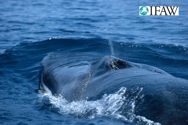 Ein Finnwal vor der Küste Italiens. (c) IFAW