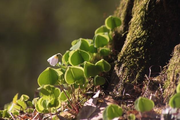 Sauerklee ziert die Baumwurzeln (Foto zur freien Verfügung)