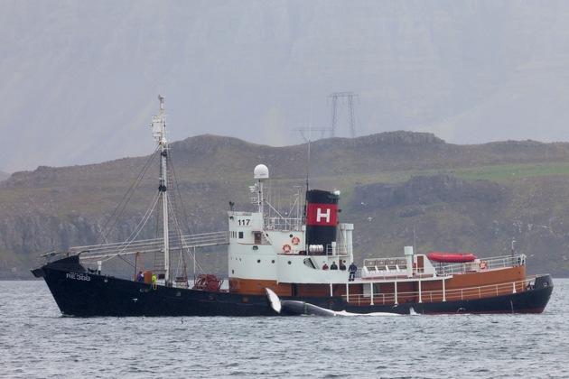 Das Walfangschiff Hvalur 8 lief heute zum erneuten Walfang aus. Das Bild zeigt das Schiff 2013 mit Beute auf dem Weg zurück zur Walfangstation. (c) IFAW