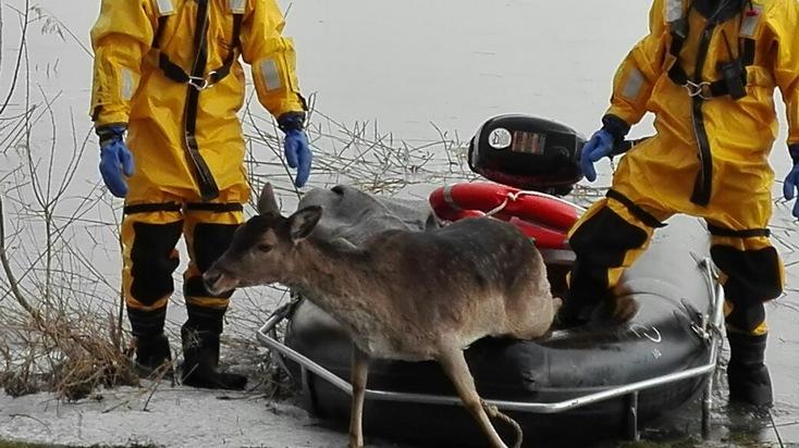 Damwild ans Ufer gerettet