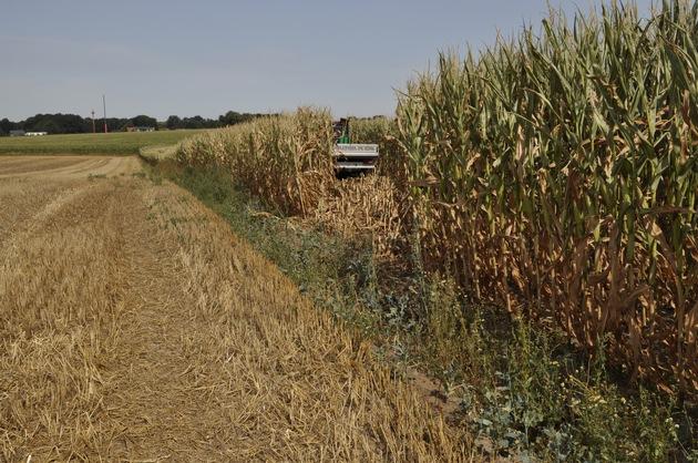 ins Maisfeld gefahren