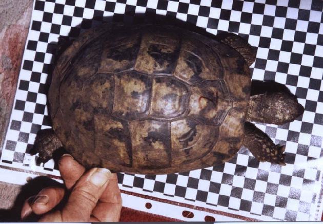 sichergestellte Griechische Landschildkröte