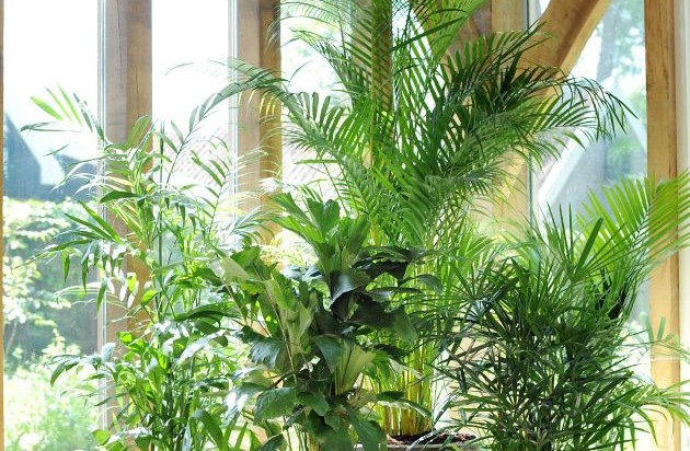palme ist zimmerpflanze des monats juli mit einer palme im haus erbl ht die kreativit t bild. Black Bedroom Furniture Sets. Home Design Ideas
