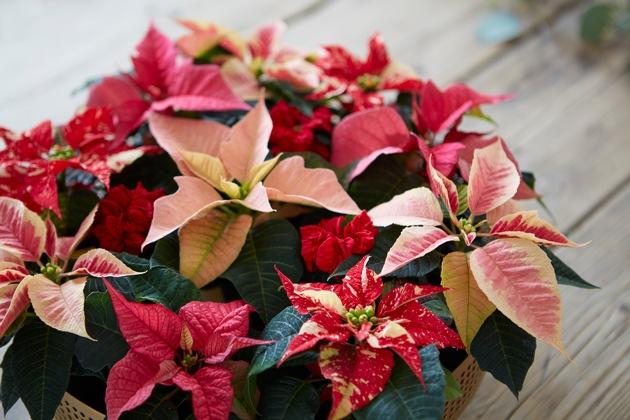 Weihnachtssterne gibt es in vielen verschiedenen Farben und Formen. Besonders die filigranen Mini-Poinsettien bieten jede Menge Möglichkeiten für abwechslungsreiche, moderne Weihnachtsdekorationen. Hier wurden einfach verschiedenfarbige Minis nebeneinander in einer Schale arrangiert.