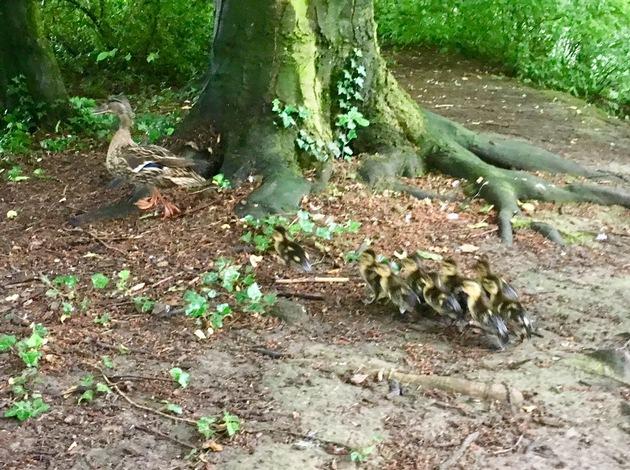 Küken folgen der Entenmutter am Ginsterweg zum Teich