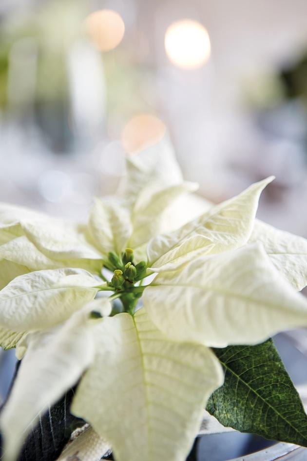 Weiße Weihnacht: Mit ihren prächtigen, sternförmigen Hochblättern eignen sich weiße Weihnachtssterne ideal für die blumige Inszenierung einer festlich eleganten Weihnachtstafel.