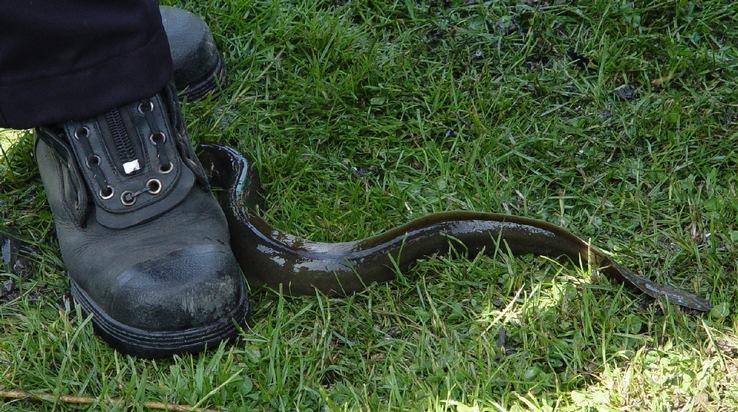 Der Aal liegt vor den Füßen eines Feuerwehrmannes
