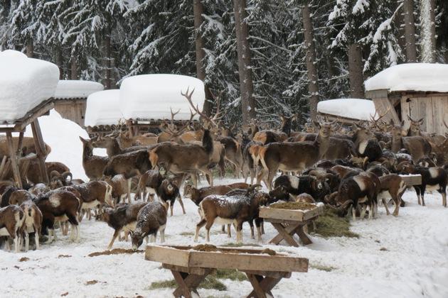 BILD zu TP/OTS - Wildtierschaufütterung in Zell am See-Kaprun.