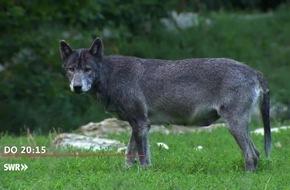 """Dem Wolf auf der Spur. """"Zur Sache Baden-Württemberg"""", SWR Fernsehen"""