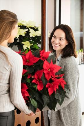 Mit ihren leuchtenden Farben sind prachtvolle Weihnachtssterne in der Adventszeit stets ein willkommenes Gastgeschenk.
