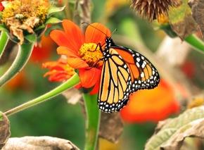 Monarchfalter_Photo Credit Lisa Larson
