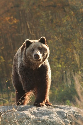 Viel Platz, Natur und frisches Futter: Bären im BÄRENWALD Müritz © VIER PFOTEN, Stefan Knoepfer