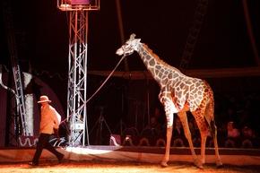 Die Giraffen im Zirkus Voyage leiden an Verhaltensstörungen © VIER PFOTEN, Fred Dott