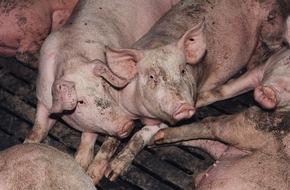 VIER PFOTEN fordert mehr Transparenz: Verbraucher müssen im Supermarkt sehen können, wie ein Tier gehalten wurde. Das Foto zeigt Schweine in Massentierhaltung auf Spaltenboden © VIER PFOTEN, R&D