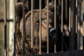 Im serbischen Zirkus lebten die beiden Bären in einem engen Gitterkäfig © VIER PFOTEN | Hristo Vladev