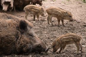 Bei den Wildschweinen gibt es wieder Frischlinge