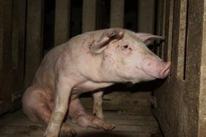 VIER PFOTEN fordert mehr Transparenz: Verbraucher müssen im Supermarkt sehen können, wie ein Tier gehalten wurde © VIER PFOTEN, R&D