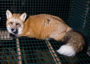 Fuchs im Drahtgitterkäfig auf einer Pelzfarm © VIER PFOTEN