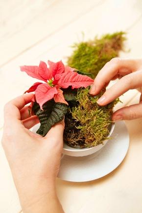 Die Weihnachtssterne aus ihren Pflanztöpfen herausnehmen und in der Mitte der Geschirrteile platzieren. Anschließend die Zwischenräume zwischen Pflanzballen und Geschirrrändern mit Moos auffüllen.