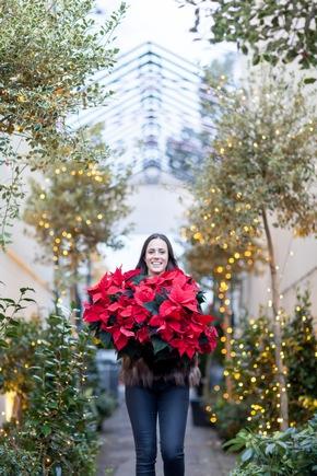 Rot und grün sind die traditionellen Weihnachtsfarben. Die Nachfrage nach klassisch roten Weihnachtssternen ist deshalb mit weitem Abstand am größten.