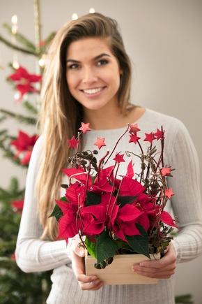 Mit seinen prächtigen roten Blättern ist der Weihnachtsstern in der Vorweihnachtszeit ein schöner Blickfang und ein beliebtes Mitbringsel.