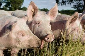 VIER PFOTEN fordert mehr Transparenz: Verbraucher müssen im Supermarkt sehen können, wie ein Tier gehalten wurde. Das Foto zeigt Schweine in deutscher Freilandhaltung © VIER PFOTEN