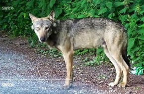 """Tatort: Schwarzwald - ist nur ein toter Wolf ein guter Wolf? / """"Zur Sache Baden-Württemberg"""", 14.9.2017, 20:15 Uhr, SWR Fernsehen in Baden-Württemberg"""
