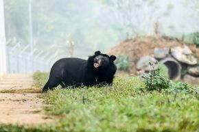 Happy End: Die ehemalige Gallebärin Hai Chan erkundet neugierig das Bärenschutzzentrum © VIER PFOTEN
