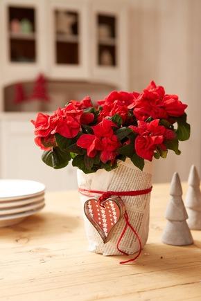 Dieses Arrangement eignet sich bestens als Last Minute Geschenk. Der Weihnachtsstern mit den gekräuselten Hochblättern ist dabei die ideale Wahl für alle, die das Besondere lieben.