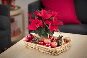 Aufs Tablett gebracht: Dekorative Geschenkideen mit dem Weihnachtsstern