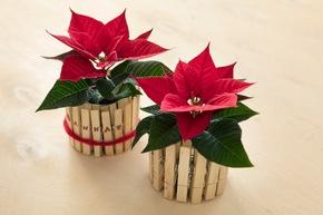 Tischdekoration im Upcycling-Stil: Mit seinen farbenfrohen Hochblättern bereitet ein Mini-Weihnachtsstern in einer mit Wäscheklammern veredelten Konservendose den Gästen ein strahlendes Willkommen.