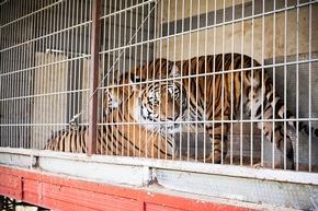 Tigerhaltung in einem deutschen Zirkus © VIER PFOTEN, Fred Dott