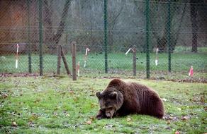 Viel Platz, Natur und frisches Futter: Die beiden ehemaligen Zirkusbären entdecken im BÄRENWALD Müritz ein komplett neues Leben (c) VIER PFOTEN, Christopher Koch