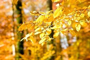 Eine Buche strahlt in leuchtenden Herbstgelb im FriedWald.
