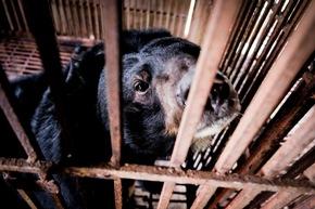 Bärin Hai Chan wurde für die Produktion von Bärengalle missbraucht. Ihr fehlen beide Vorderpfoten © VIER PFOTEN, Bogdan Baraghin