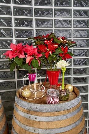 Auf Fensterbänken, Beistell- oder Couchtischen strahlen Weihnachtssterne in Lampenschirmgestellen unterschiedlicher Formen und Designs besonders modern und originell.