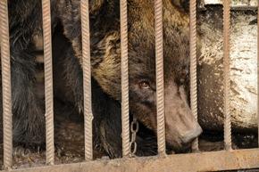 In diesem engen Käfig verbrachte Mashutka fast ihr ganzes Leben © VIER PFOTEN