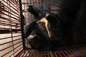 Bärin Hai Chan litt ihr Leben lang in einem winzigen Käfig auf einer Gallebärenfarm © VIER PFOTEN, Nguyen Khanh