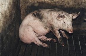 VIER PFOTEN fordert mehr Transparenz: Verbraucher müssen im Supermarkt sehen können, wie ein Tier gehalten wurde.  Das Foto zeigt ein Schwein in Massentierhaltung auf Spaltenboden © VIER PFOTEN, R&D